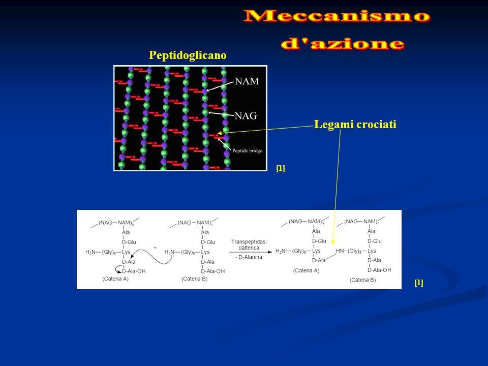 Meccanismo d azione Peptidoglicano Legami crociati [1]